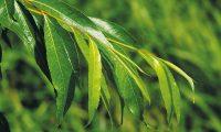 Aktywność farmakologiczna kory wierzby