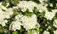 kwiaty-glogu